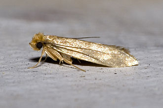 Clothes Moths (Tineola bissellellia)